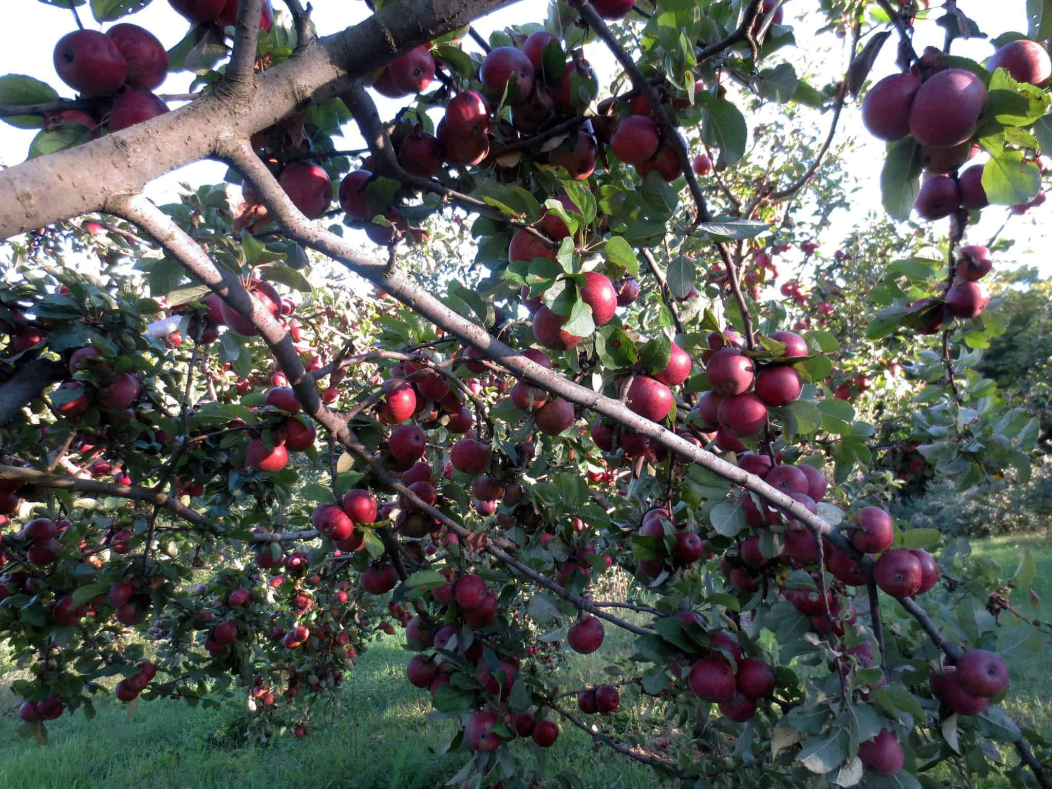Kingston Black at Eve's Cidery