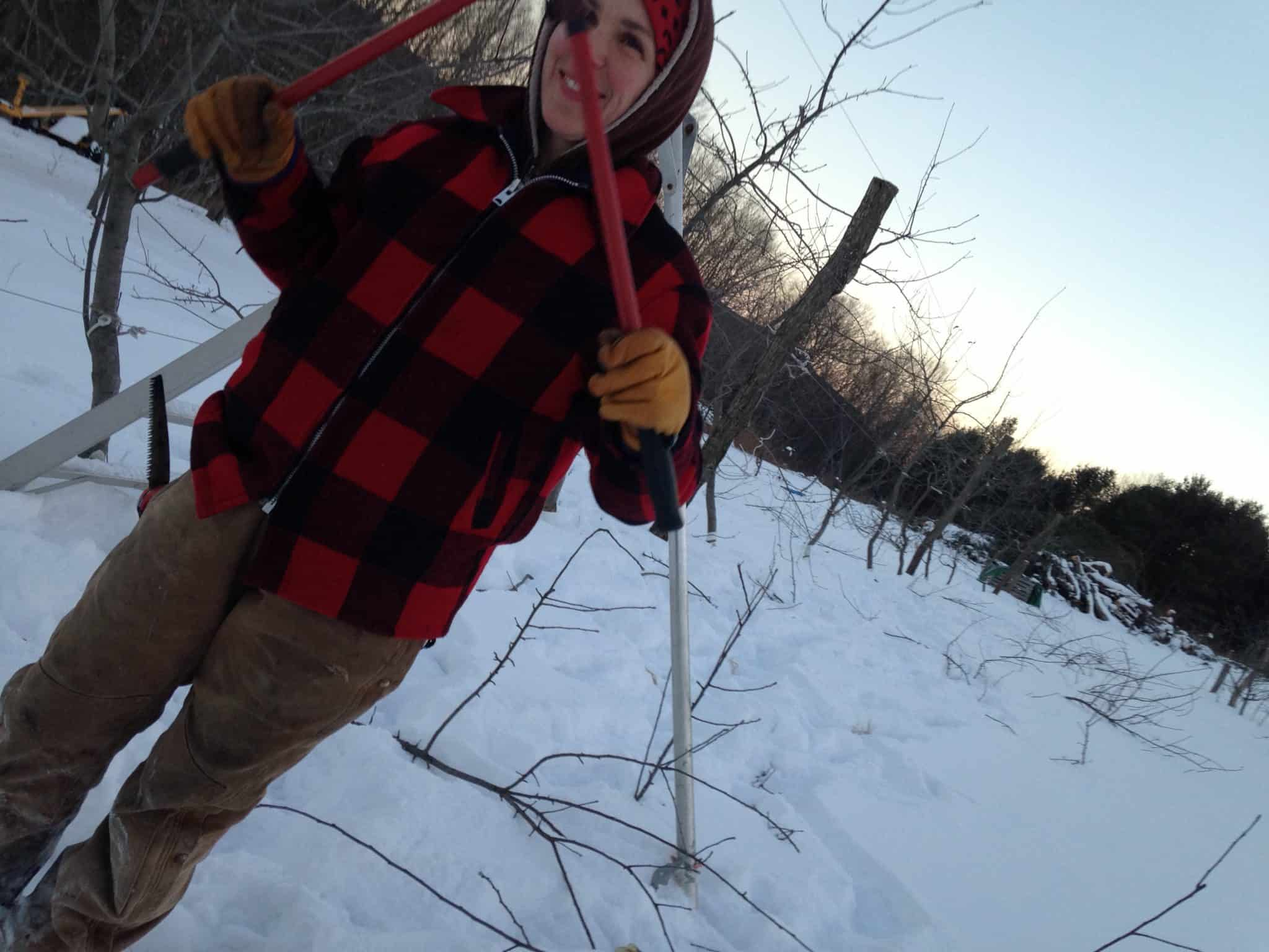 Pruning apple trees at Eve's Cidery