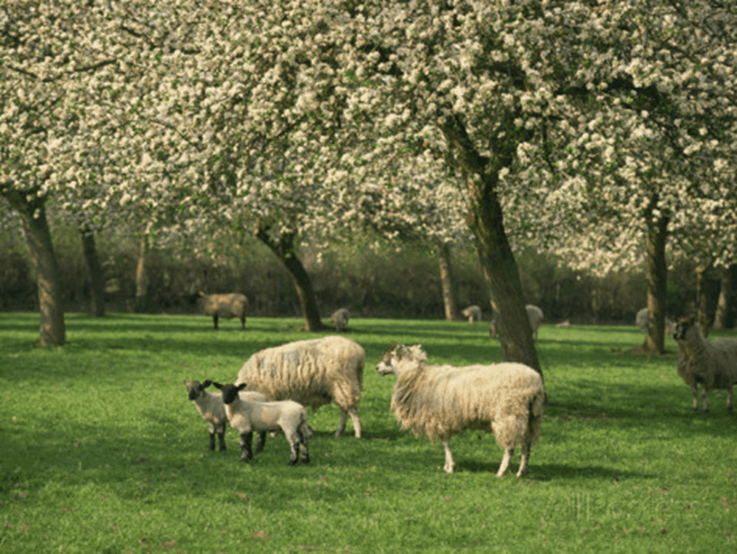 Traditional Somerset Orchard