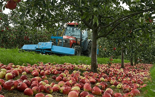 Modern mechanized cider orchards in the UK