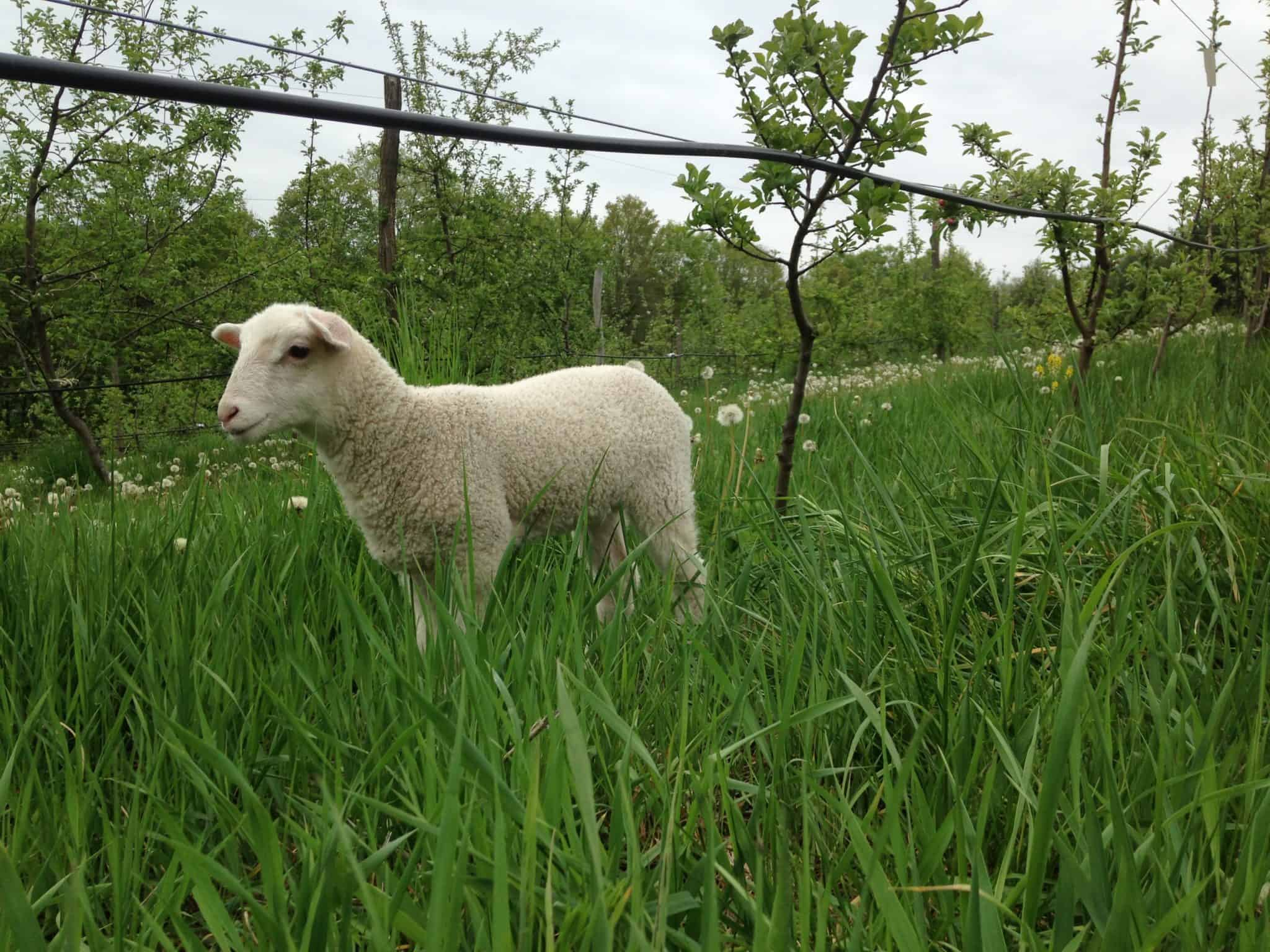 Barnyard (also known as sheep in the orchard) cider descriptor.