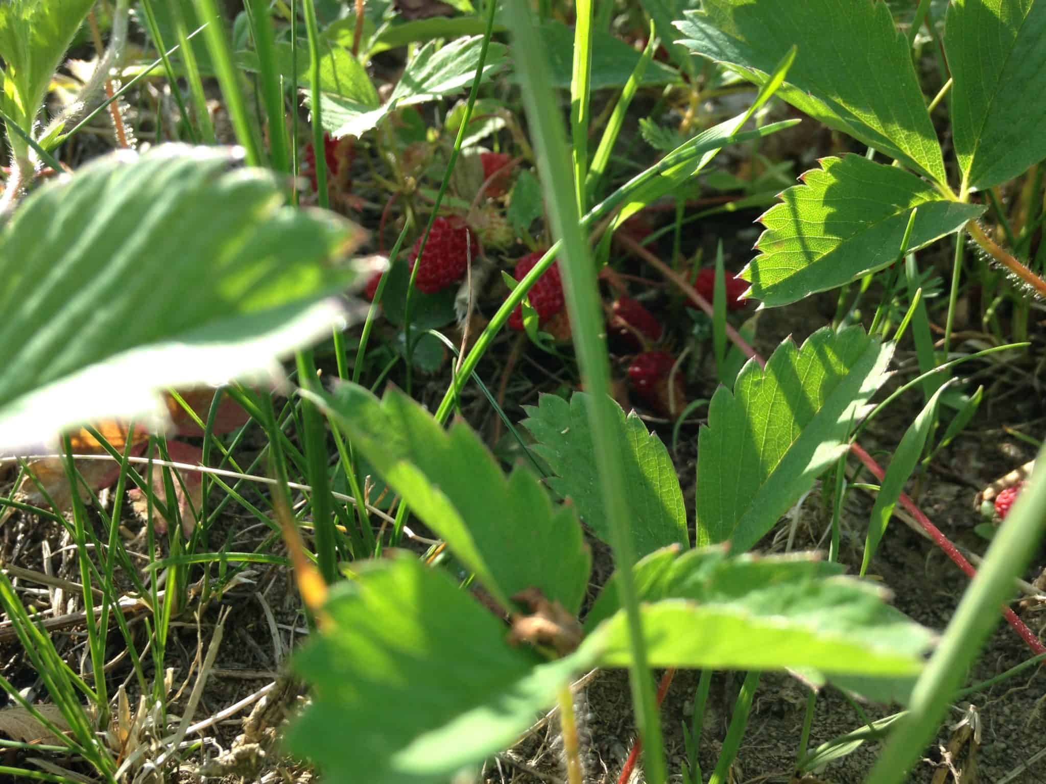 Strawberry can be a red fruit descriptor for cider.